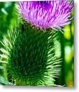 Bumble Bee On Bull Thistle Plant  Metal Print