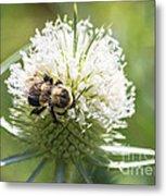 Bumble Bee On Button Bush Flower Metal Print