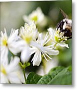 Bumble Bee On Clematis Metal Print