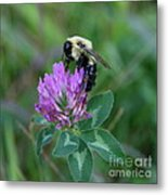 Bumble Bee On Red Clover  Metal Print