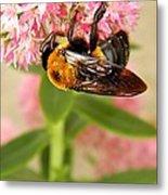 Bumblebee Clinging To Sedum Metal Print