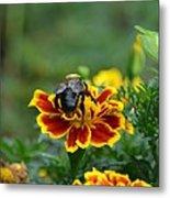 Bumblebee On Marigold Metal Print