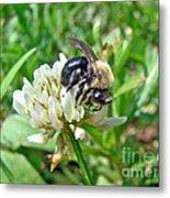 Bumblebee On White Clover Metal Print