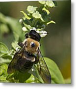Bumblebees And Basil Metal Print