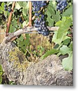 Bunches Of Red Wine Grapes Growing On Vine Metal Print
