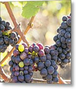 Bunches Of Red Wine Grapes Hanging On Grapevine Metal Print
