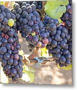 Bunches Of Red Wine Grapes Metal Print