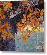 Bur Oak Tree In Autumn Metal Print