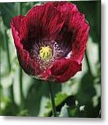 Burgundy Poppy Metal Print