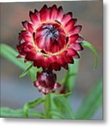 Burgundy Straw Flower Metal Print