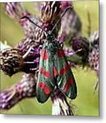 Burnett Moth Metal Print