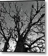 Burr Oak Beauty Metal Print