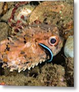 Burrfish And Cleaner Goby Metal Print