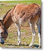 Burro Equus Asinus Metal Print