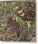 Burrowing Owl Feeding It's Chick Photo Metal Print