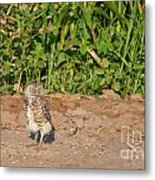 Burrowing Owl IIi Metal Print