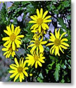 Bush Daisy  Metal Print