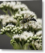 Busy Bee On White Metal Print