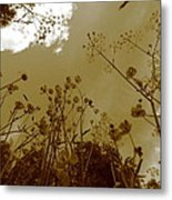Buttercup Flowers Seen From Below - Monochrome Metal Print