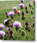 Butterflies And Bull Thistle Wildflowers Metal Print