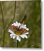 Butterflies And Daisy In A Yosemite Meadow Metal Print