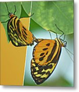 Butterflies Mating Out Of Bounds Metal Print