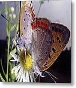 Butterfly 002 Metal Print