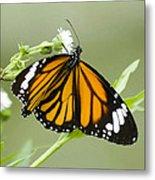 Butterfly 009 Metal Print