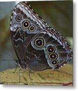 Butterfly 015 Metal Print