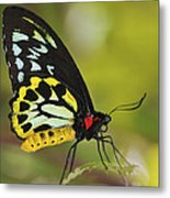Butterfly 022 Metal Print