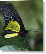 Butterfly 029 Metal Print
