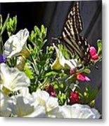 Swallowtail Butterfly On White Petunia Flower Metal Print