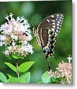 Butterfly Dining  Metal Print