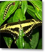 Butterfly Generations Metal Print
