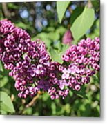 Butterfly Lilac Metal Print