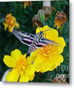 Butterfly Moth Metal Print