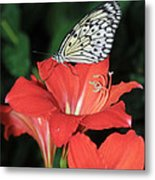 Butterfly On A Lily Metal Print