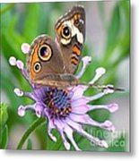 Butterfly On African Daisy Metal Print
