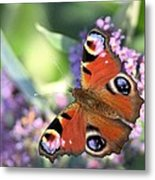 Butterfly On Buddleia Metal Print