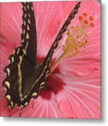 Butterfly On Hibiscus Metal Print