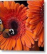 Butterfly On Orange Mums Metal Print by Garry Gay