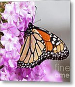 Butterfly On Phlox Flowers Metal Print