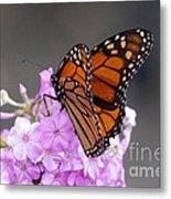 Butterfly On Phlox Metal Print