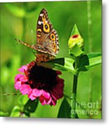 Butterfly On Zinnia Flower 2 Metal Print