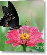 Butterfly On Zinnia Metal Print