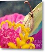 Butterfly On Zinnia Metal Print