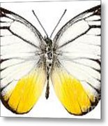 Butterfly Species Cepora Judith  Metal Print