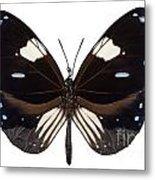 Butterfly Species Euploea Radamanthus Common Name Magpie Crow Metal Print