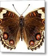 Butterfly Species Junonia Orithya  Metal Print