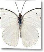 Butterfly Species Pieris Rapae Metal Print